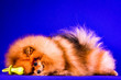 canvas print picture - Lovely Pomeranian doggy on blue background.