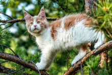 Maine Coon Kitten Pet Sitting On Tree In Forest On Summer Day.
