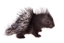 Indian Crested Porcupine Baby ...