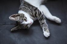 Little Grey Domestic Kitten Sl...