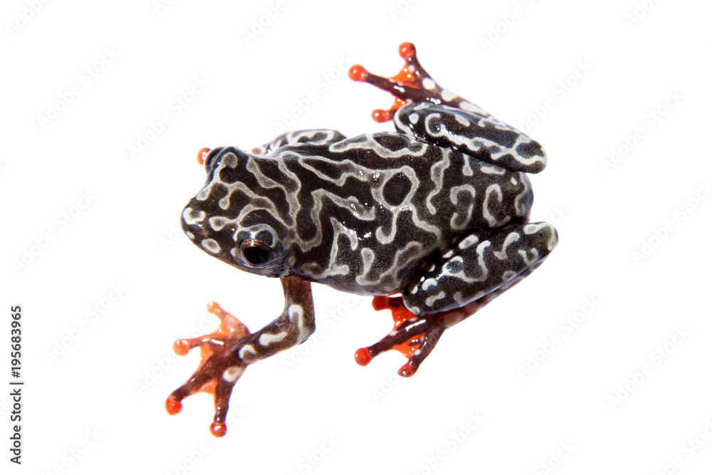 Riggenbach's reed frog, female, Hyperolius riggenbach, on white