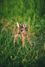 Baby Deer Standing In The Mead...