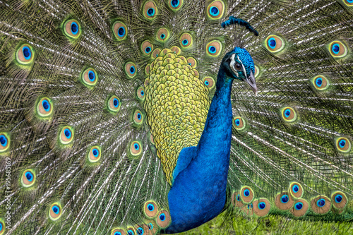 Foto op Canvas Pauw Peafowl or peacock bird