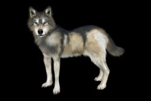 3D Rendering Of A Gray And Brown Wolf Isolated On Black Background