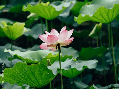 Poster Lotusbloem lotus flower