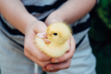 Close-up Of A Baby Duck Held B...