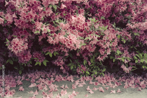 Papiers peints Azalea Azalea bush