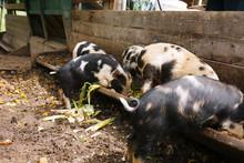 Piglets Eating Slop
