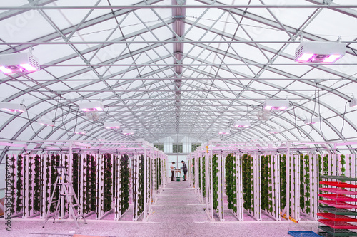 Young sustainable farmers work in the greenhouse under pink LED