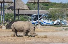 Big Rhino Is Eating Dried Grass