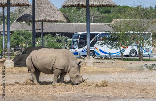 Poster Neushoorn Big Rhino is eating dried grass