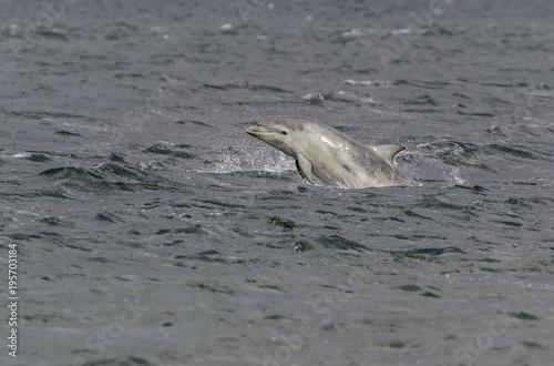 Fototapeta Wild bottlenose dolphin tursiops truncatus
