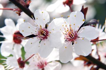 Panel Szklany fioritura primaverile