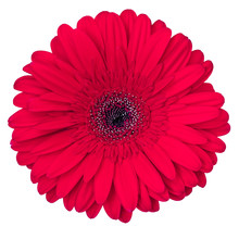 Red Gerbera Flower Isolated On White Background, View From Above