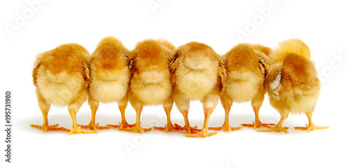 Fotografía Chicks isolated on white background