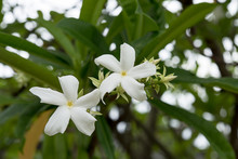 White Flower Of Suicide Tree