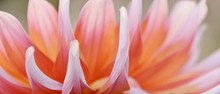 Close Up Of Beautiful Orange Dahlia Flower