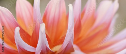 Fototapeta Close up of beautiful orange Dahlia flower obraz
