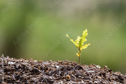 eine kleine Eiche keimt aus dem Boden