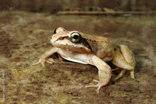 Pyrenäenfrosch (Rana pyrenaica) - Pyrenean frog