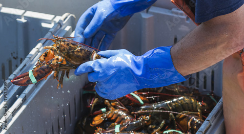 Close up of a live lobster being held