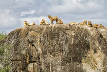 A Lion Family On A Kopje (gran...