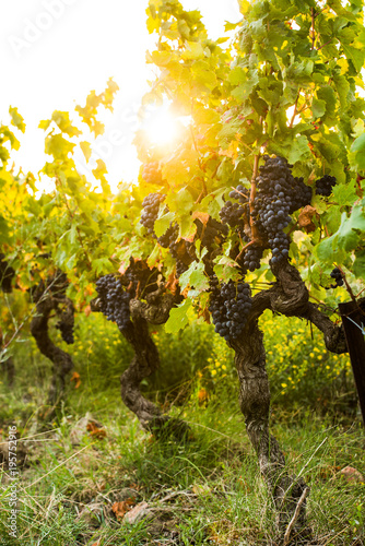 Papiers peints Vignoble bunch of red grapes for red wine in vineyard sunrise before harvest