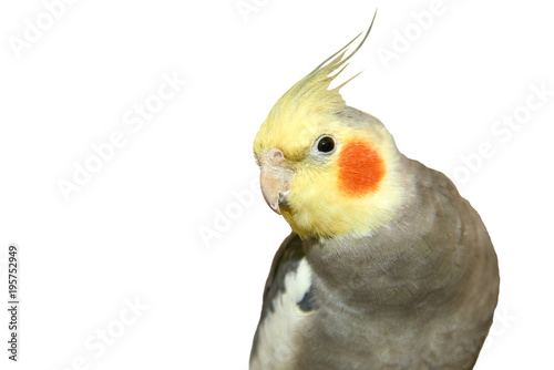 Valokuva  Cockatiel on a white background