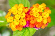 Beautiful Colorful Hedge Flower, Weeping Lantana, Lantana Camara