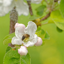 Close Up Of Western Honey Bee In White Apple Tree Flower Collecting Nectar And Pollen