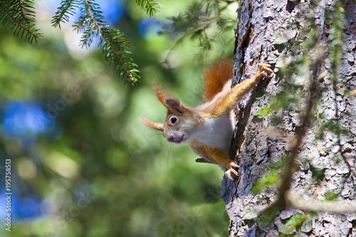 Fotobehang Eekhoorn Ein liebliches Eichhörnchen / Eichkätzchen