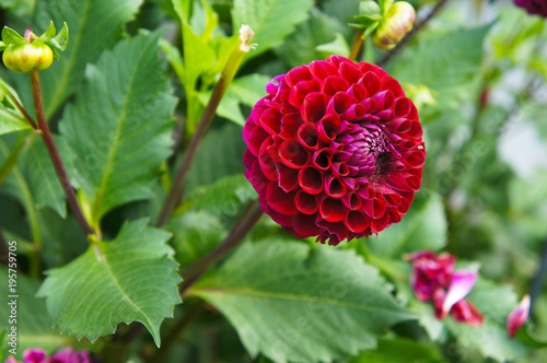 Dahlia pompon red flower with green