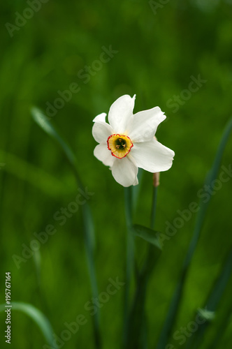 Papiers peints Narcisse Image of white daffodil with yellow trumpet with selective focus. White daffodil on the green background. White blossoming narcissus.
