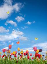Tulpenblüte Im Mai, Blauer Himmel Mit Wolken Und Schmetterlingen, Hochformat
