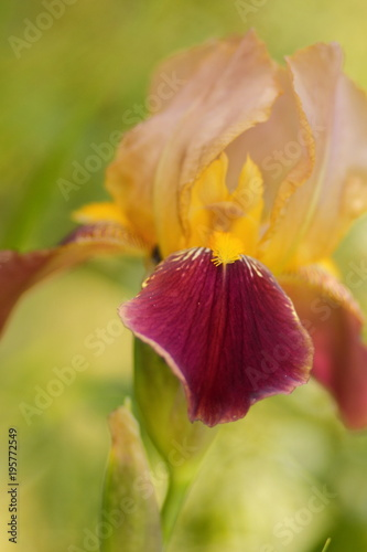 Spring Flowers Yellow Irises In The Garden Burgundy Flowers On A