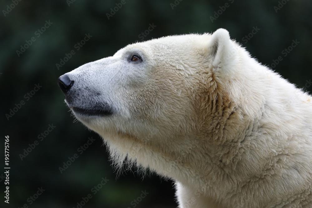 Polar bear close-up