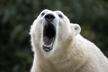 Polar Bear Close-up