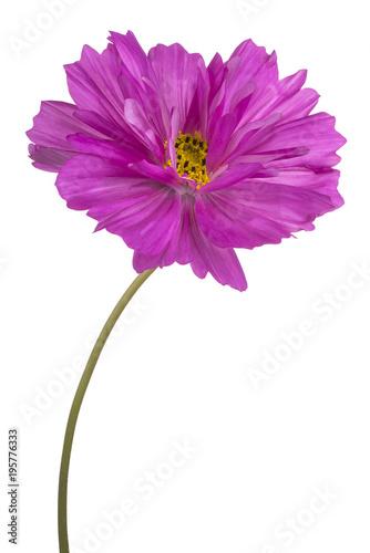 Foto op Aluminium Gerbera cosmos flower isolated