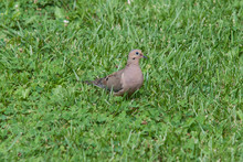 Mourning Dove In Grass