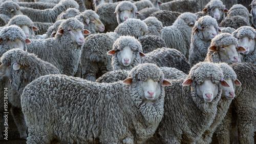crowded sheep Fototapeta