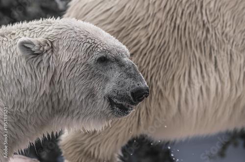 Fotografie, Obraz  Primo piano di un orso polare appena uscito dall'acqua