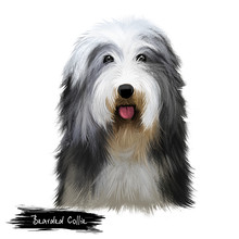 Bearded Collie Or Beardie Herd...