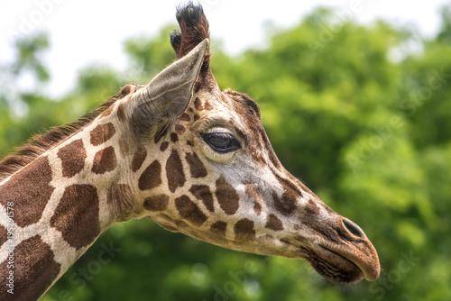 Giraffe Profile Poster