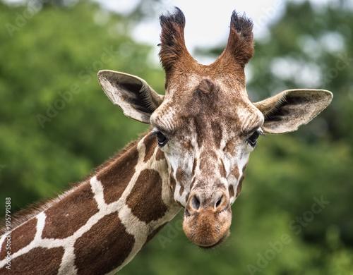 Foto op Plexiglas Giraffe Curious Giraffe