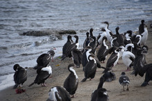 Flocks Of Cormorants And  Seagulls On The Beach In Punta Arenas, Chile