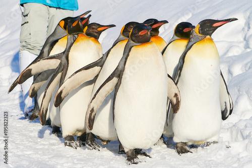 Poster Pinguin キングペンギンの散歩