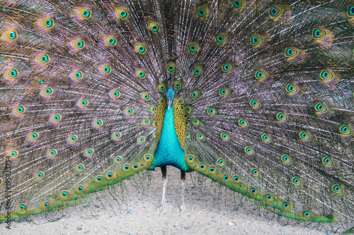 Foto op Plexiglas Pauw A peacock expanded colorful feathers