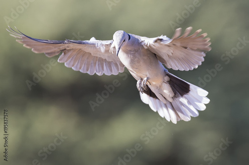 Ring-necked dove in flight on a soft green background in early morning sun