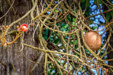 Flower And Fruit Of Tropical Tree Cannon Ball