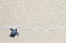 Turtle Baby On The Beach Top V...